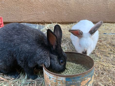 Bunny Picture Of The Day — A petting session with Shiro
