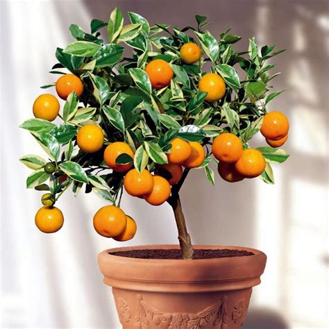 Fruit trees in pots – varieties of fruits that you can