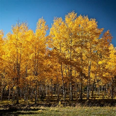Quaking Aspen For Sale Online | The Tree Center