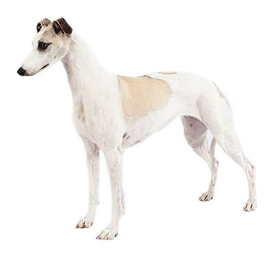 Whippet   Purina