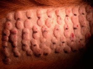 Dermatology Clinic for Animals » Allergy Testing