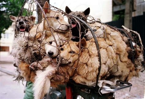 China Dog Meat Festival 2014: Dogs Sold for 85p for